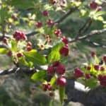 flowering plum tree buds | the DAWN Method