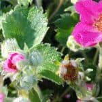 ornamental strawberry blossoms and leaves with dew | the DAWN Method
