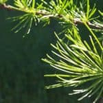 larch branches | the DAWN Method