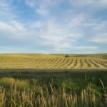 Wheat fields being harvested with combines in the distance | the DAWN Method