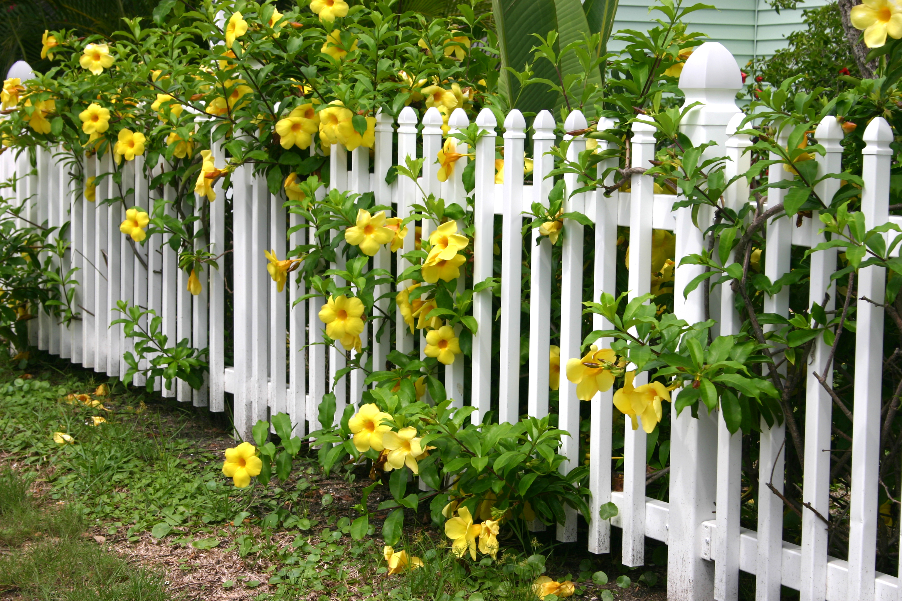 white picket fence with yellow flowers growing through it