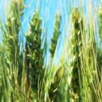 green wheat stalks close-up with blue sky | the DAWN Method