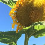 Sunflower and blue sky | the DAWN Method