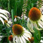 white coneflowers | the DAWN Method