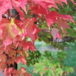 red and green maple leaves | the DAWN Method