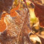 frosted brown oak leaves on tree | the DAWN Method