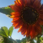 orange sunflower | the DAWN Method