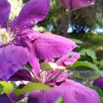 purple clematis flowers | the DAWN Method