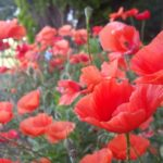 big red poppies | the DAWN Method