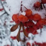 snow on red berries | the DAWN Method