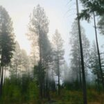 Pines with fog