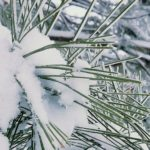 snow on Ponderosa pine branches | the DAWN Method