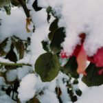 snow covered roses | the DAWN Method