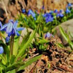 blue bells (flowers)