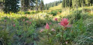 Forest meadow with wildflowers in Idaho