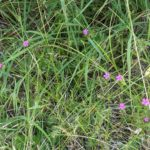 Small pink flowers (almost the big dipper)