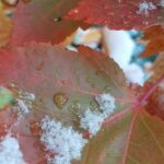 Fall maple leaves with snow