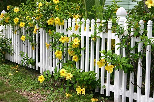 Yellow flowers with white fence